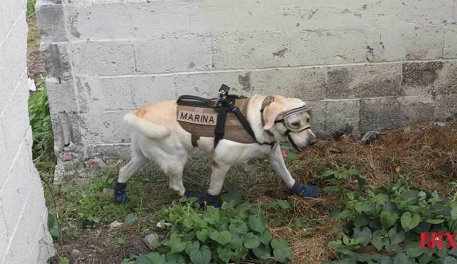 Frida, la perrita rescatista que busca sobrevivientes del terremoto