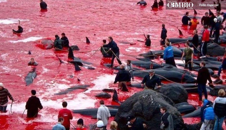 Caza masiva de ballenas en las Islas Feroe, tiñó el mar de sangre (VIDEO)