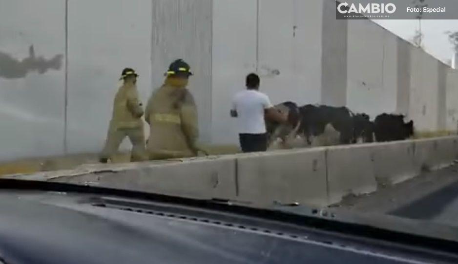 ¡Vacas en fuga! Se le escapan a su dueño en pleno Periférico (VIDEO)