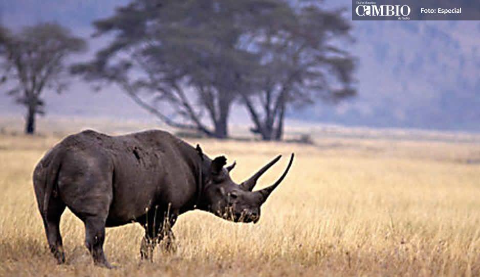 Mueren 8 rinocerontes durante traslado a Kenia