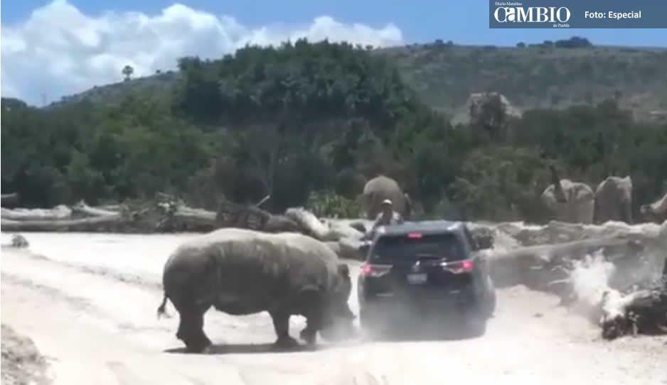 Confirmado: Rinoceronte que atacó a la familia es de Africam Safari; estaba en celo