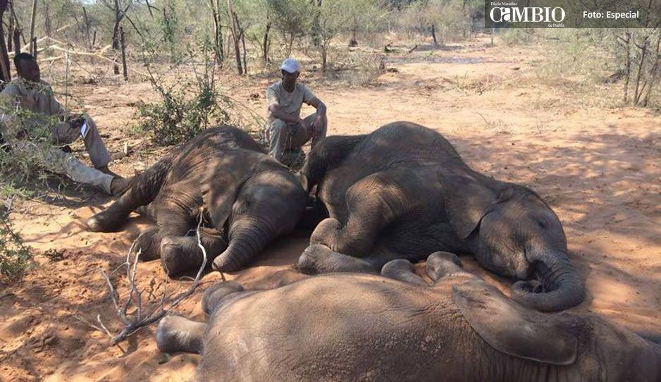 Cazadores matan a más de 80 elefantes en África