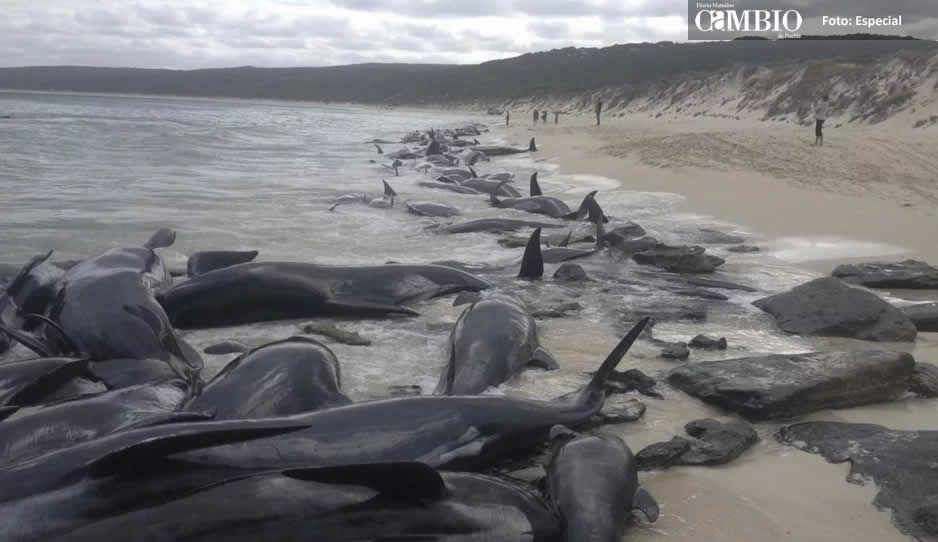 Más de 150 ballenas quedan varadas en una playa de Australia