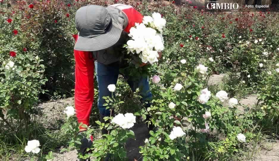 Productores de rosa en Atlixco esperan excelentes ventas por 10 de mayo
