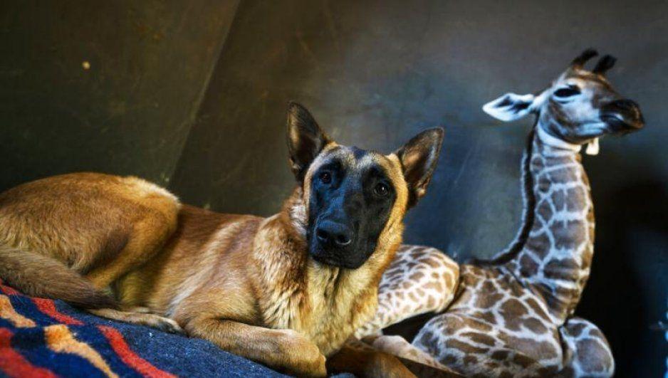 ¡Qué bonito! Perrito adopta a jirafa abandonada por su madre al nacer