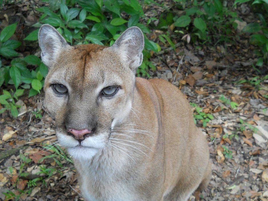 Investigan la caza ilegal de un puma en Huauchinango