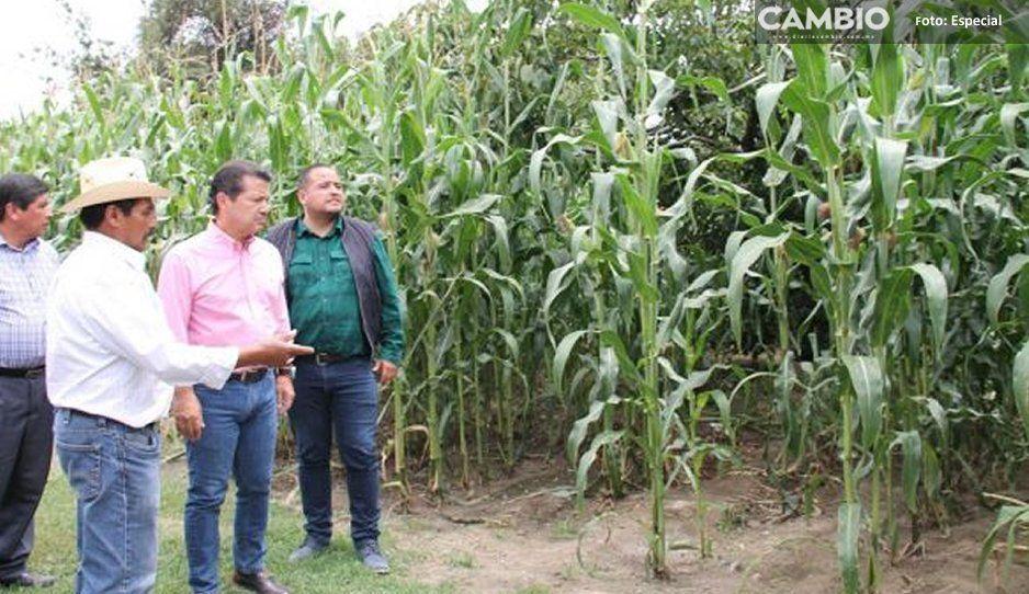 Duplican cosecha productores de San Pedro Cholula gracias al apoyo municipal