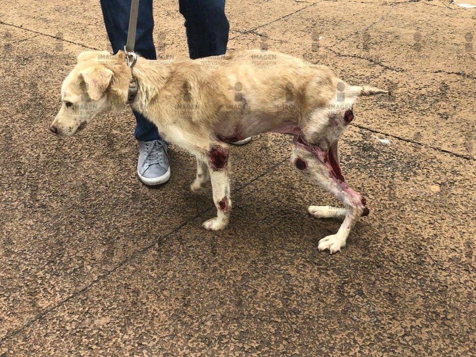 Tras casi un mes agonía sobrevive perrito que psicópatas incendiaron en Serdán