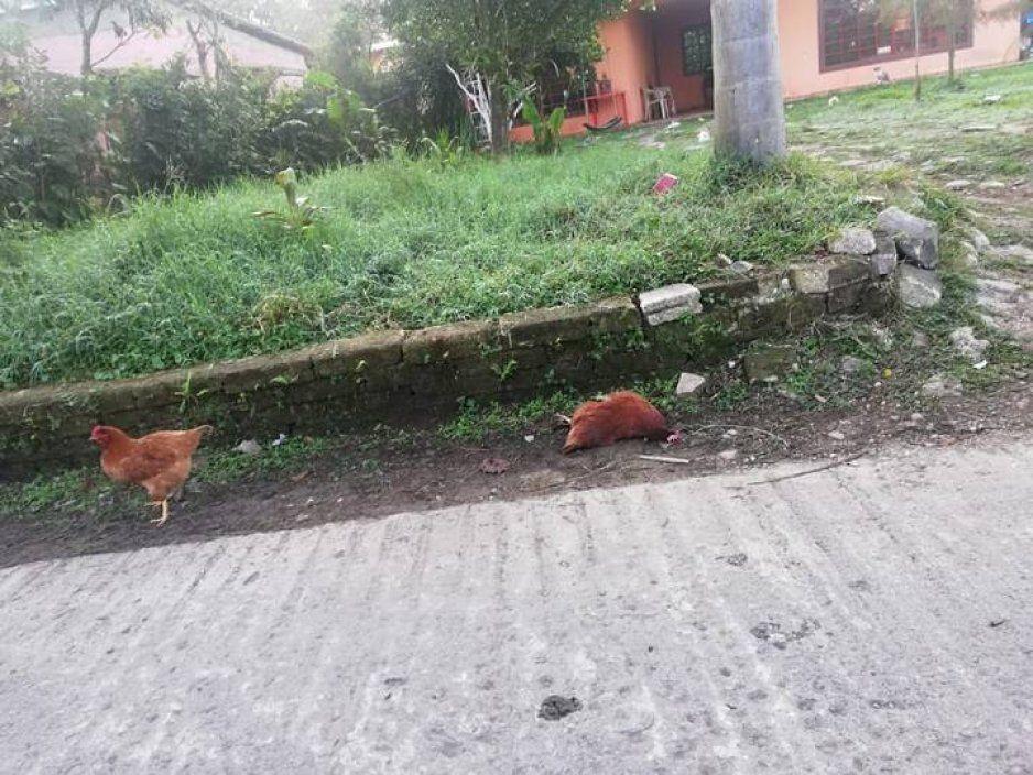 No solo perritos asesinan en Xicopetec, también gallinas