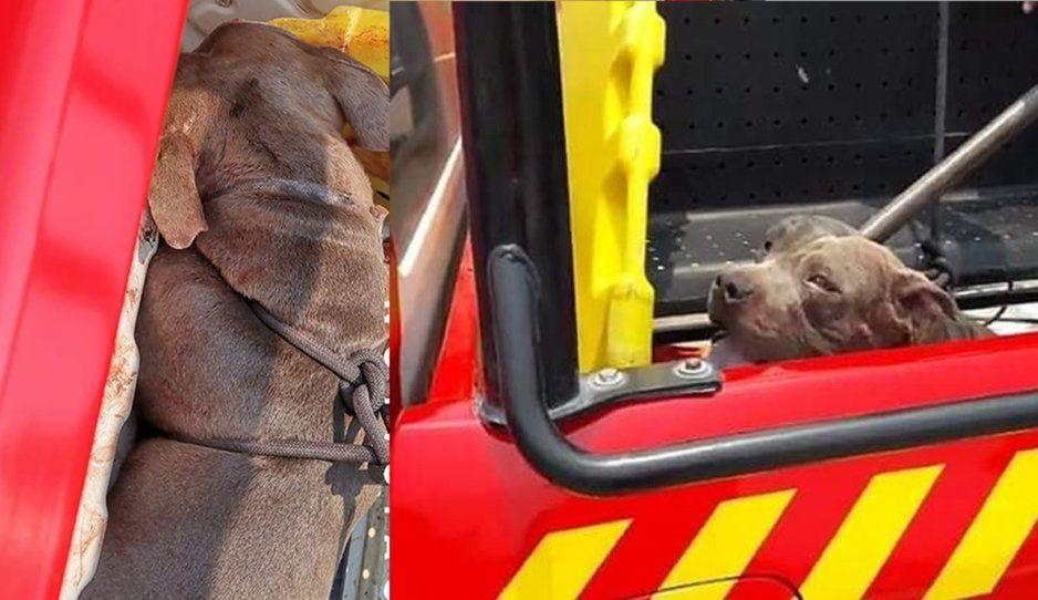 Animalistas enfurecen por ahorcamiento de perro pitbull: denuncian a bomberos de Tehuacán