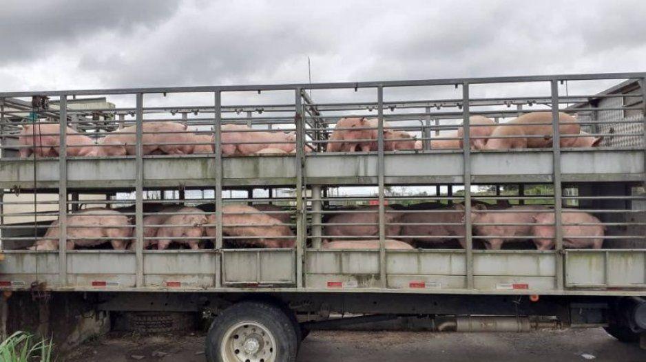 Corretiza de cerdos tras volcadura de tráiler, así se los robaron (VIDEO)