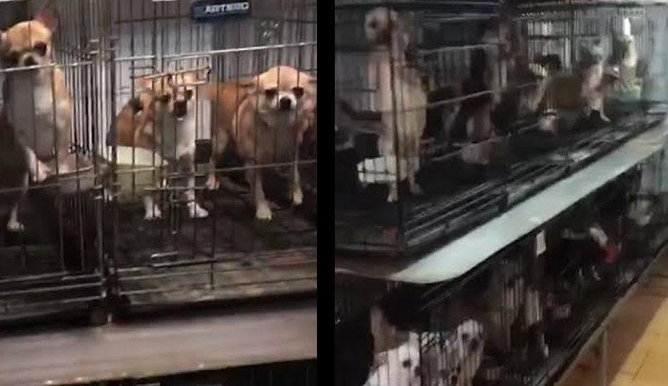 En criadero clandestino de perritos chihuahuas, criminales les cortaban las cuerdas vocales para no ser descubiertos