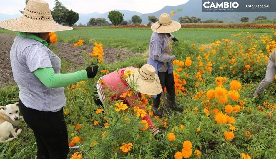 Venta de flor de temporada supera  110 millones de pesos en Atlixco
