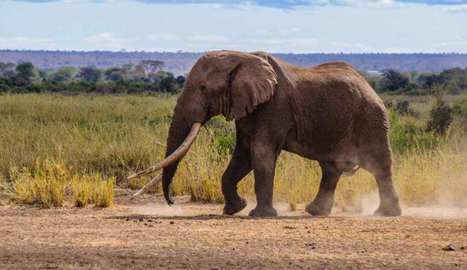 Muere ultimo elefante de colmillos grandes en África
