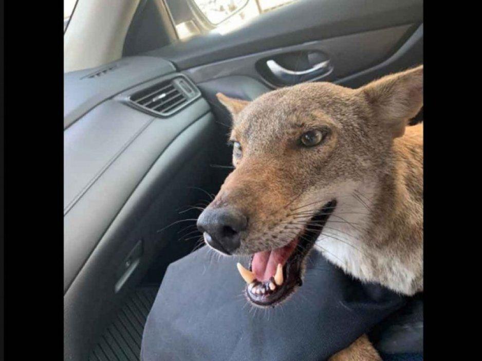 Pensó que había rescatado a un perrito y terminó siendo un coyote