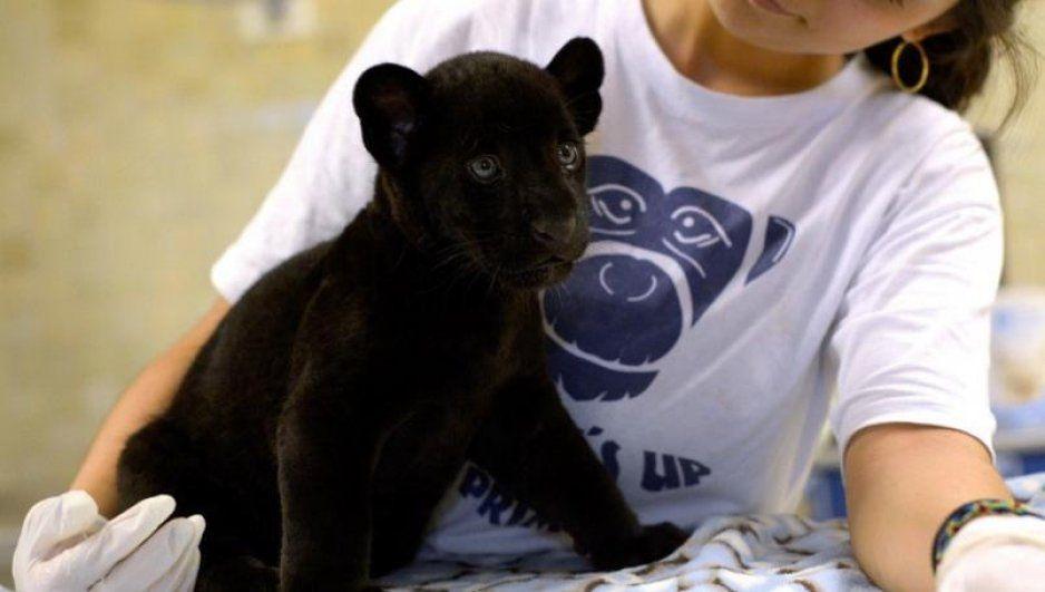 En México cazan jaguares para traficar sus genitales en China