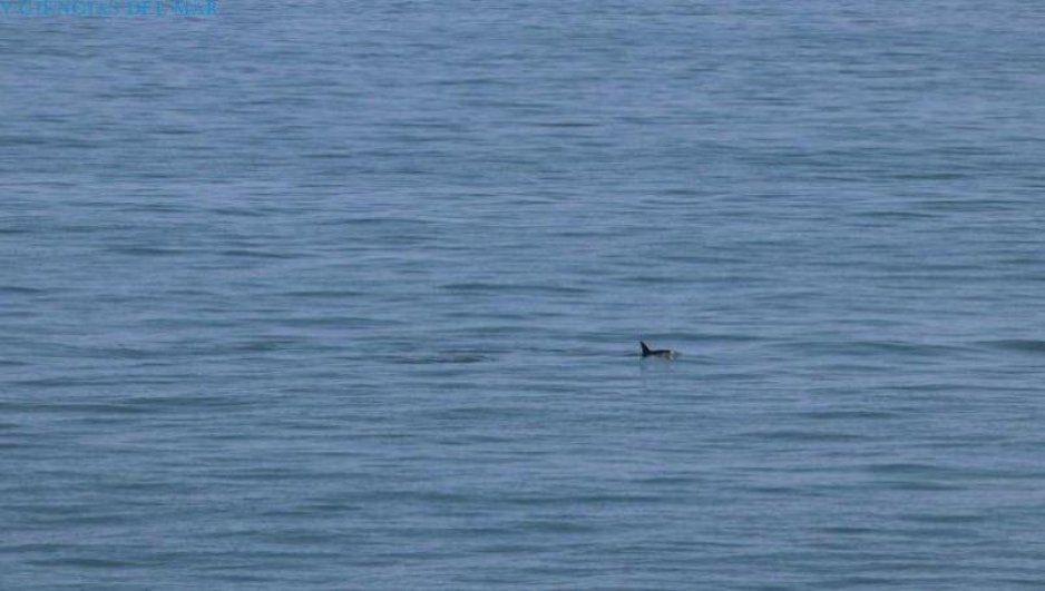 Hay esperanza: Avistan 6 vaquitas marinas en Baja California (FOTOS)