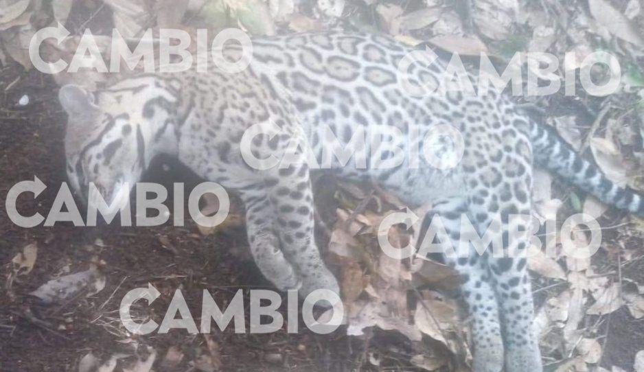 Denuncian caza ilegal de ocelote en San José Acateno