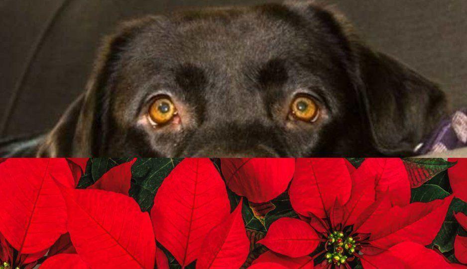 ¡PELIGRO! Flor de nochebuena es tóxica para los perritos, aquí los síntomas