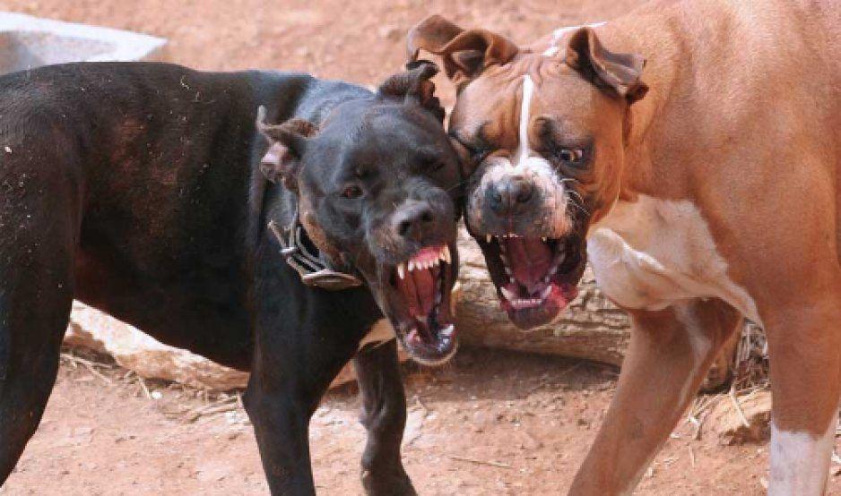 Continúan las peleas clandestinas de perros, es una mafia muy grande: Presidente de TAC