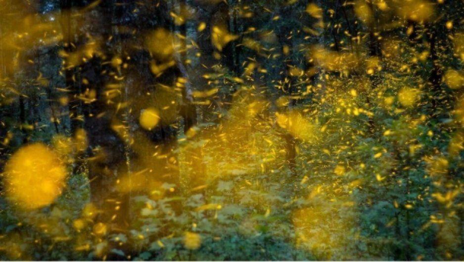 ¡No necesitas viajar a Japón! Inicia avistamiento de luciérnagas en Tlaxcala (VIDEO)