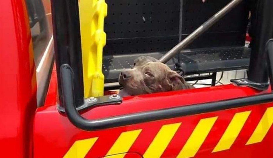 FGE investigará la muerte de pitbull que mató a la niña de 4 años en Tehuacán