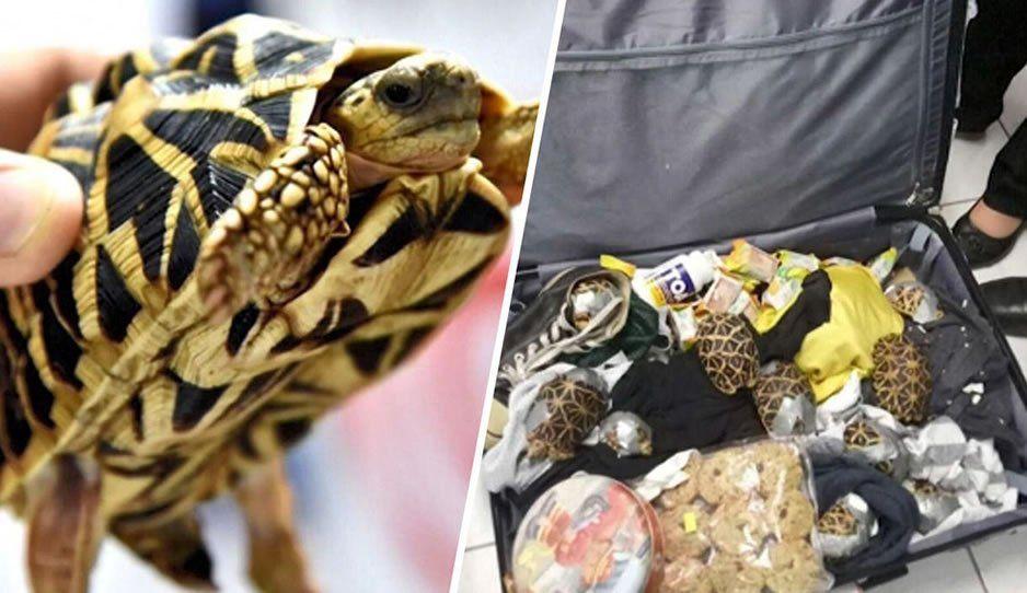 Rescatan en la CAPU a iguanas y tortugas que transportaban en maletas desde Catemaco