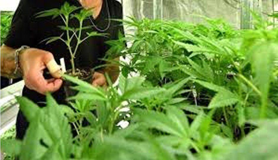 Senado alista debate para regular la marihuana