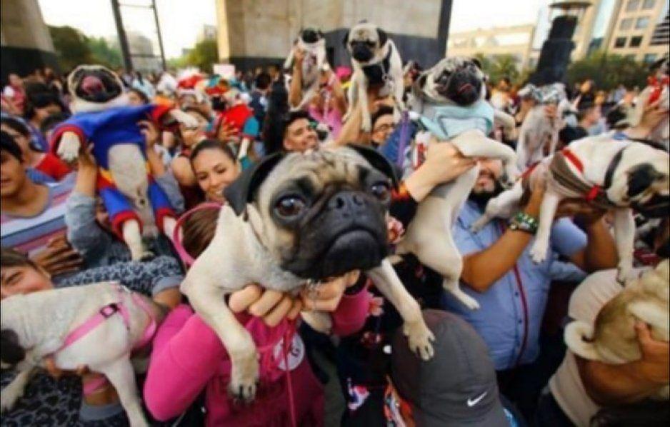 ¿Tienes un Pug? Este fin de semana se realizará la reunión anual de perritos Pugs