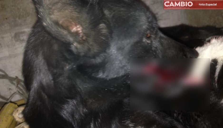 Malnacido machetea a perrito en Izúcar de Matamoros