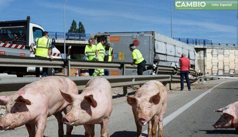 En asalto, le disparan al chofer y pierde el control: se vuelca con el camión de cerdos en Tecamachalco