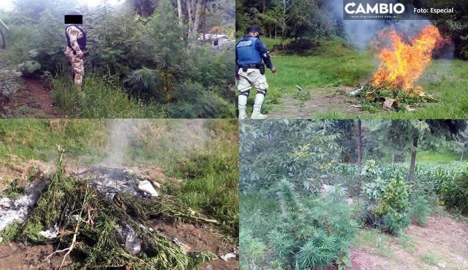 ¡Les cayó el chahuistle! Encuentran plantío de marihuana en Tlatlauquitepec
