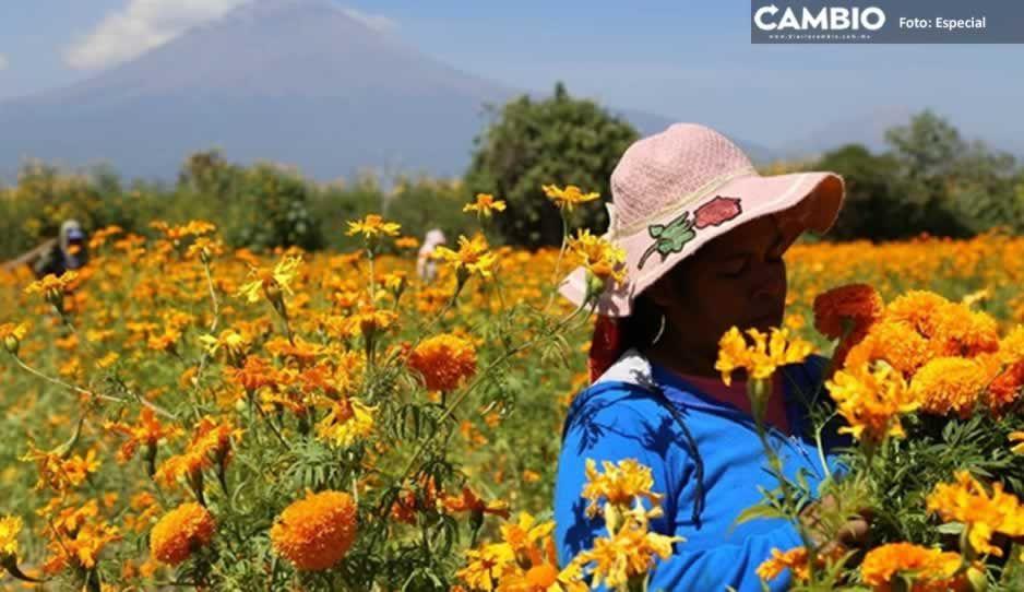 Productores atlixquenses inician el corte de Flor de Temporada de Muertos