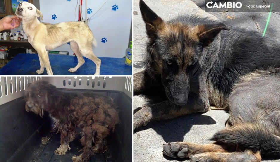 Más de 100 perritos han sido abandonados en Serdán durante la pandemia