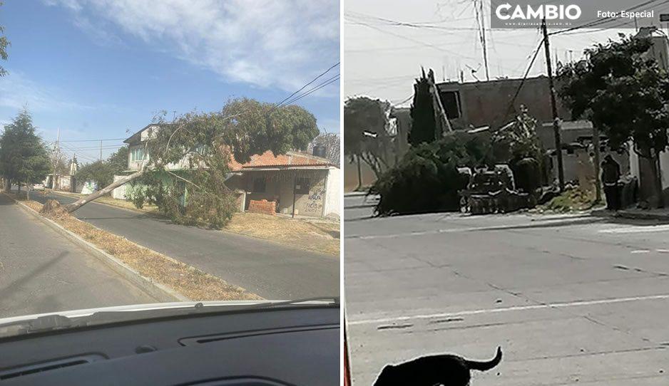 Fuertes vientos derriban árboles en Santa Ana Xalmimilulco