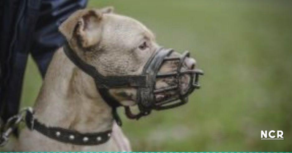 Perro pitbull destrozó su bozal para defender a niña de secuestrador