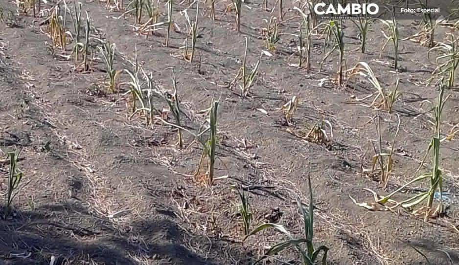 Canícula afecta hasta 6 mil hectáreas  de cultivos de maíz y frijol en Serdán