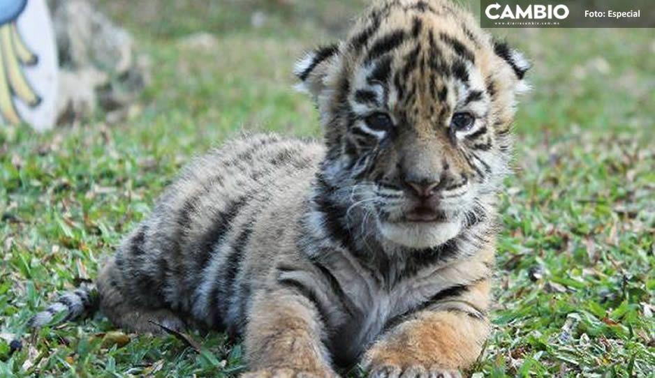 """Tigre bengala bebé es bautizado como """"Covid"""""""
