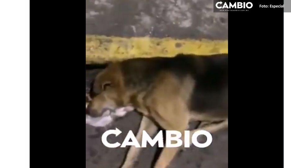 Matanza de perros en Teziutlán: envenenan a 5 canes (VIDEO)