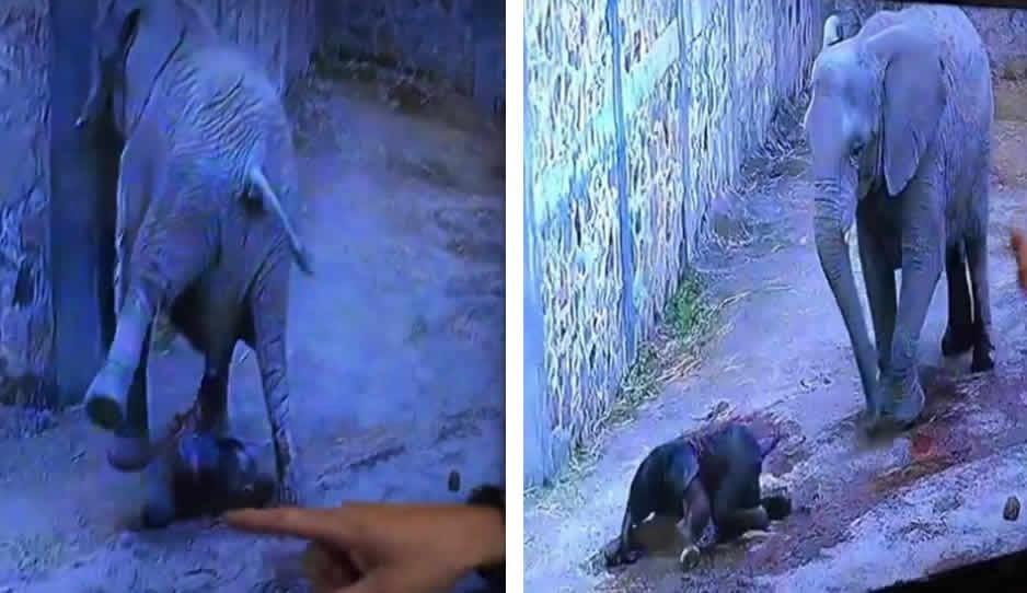 VIDEO: Así fue el parto donde nació el elefantito de Africam Safari ¡increíble!