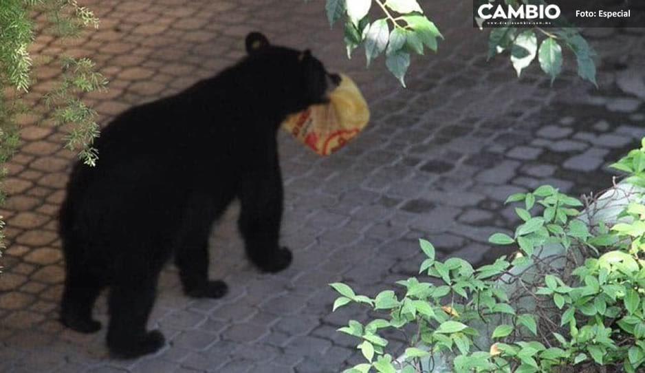 ¡Pero que glotón! Cachan a oso robando una orden de pollo en Monterrey