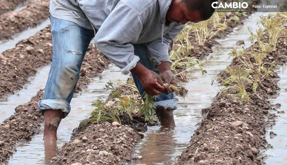 Más de mil 500 productores inician siembra de flor de Cempasúchitl en Atlixco