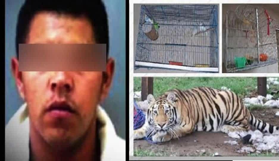 Tigre, vacas, cerdos y un arsenal confiscaron a El Loco Téllez
