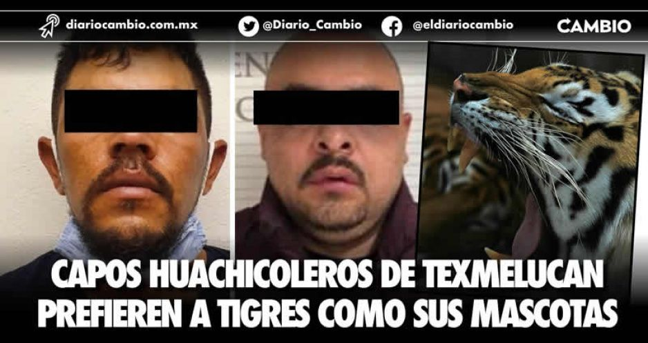 Capos huachicoleros de Texmelucan prefieren a tigres como sus mascotas