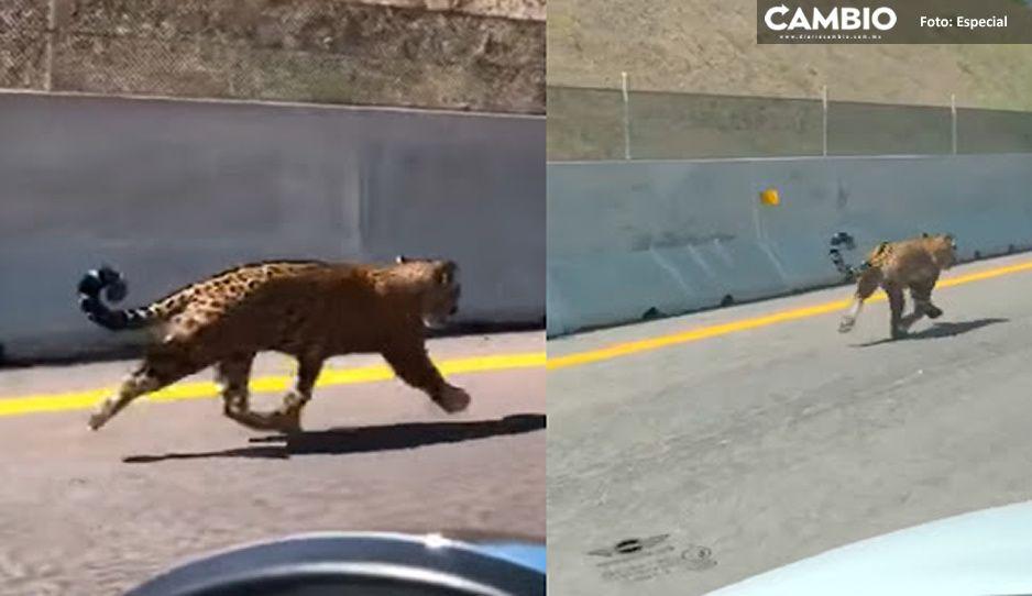 Captan a jaguar salvaje corriendo más rápido que un Vocho en la autopista de Nayarit (VIDEO)