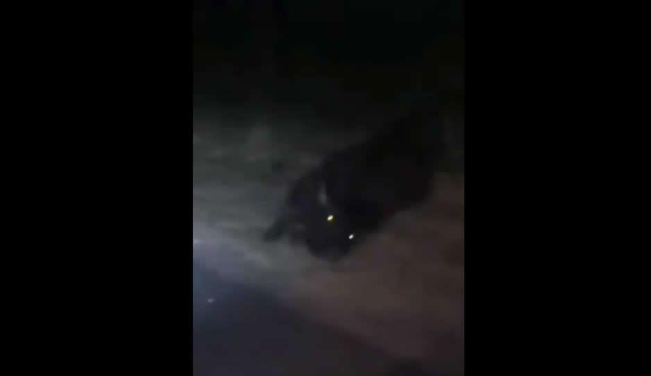 Toro muere tras ser embestido por tráiler en la carretera de Izúcar (VIDEO)