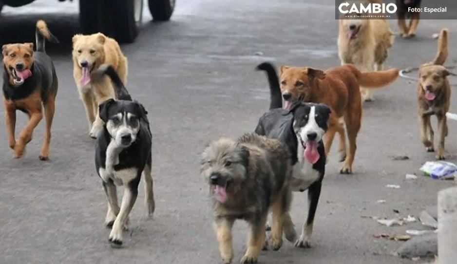 Más perros asesinos; ahora atacan y devoran a una abuelita en Cuetzalan