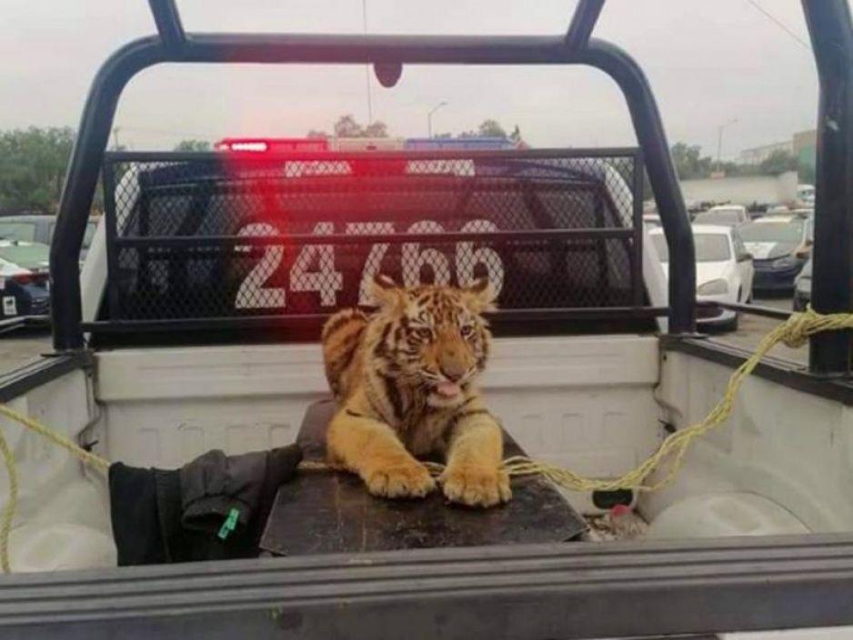 ¡Lindo gatito! Capturan a tigre paseando por las calles de Izcalli (FOTOS)