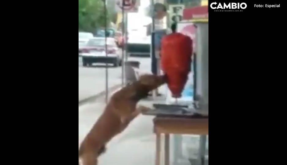 Lomito mordisquea trompo de carne en taquería y se hace viral en redes (VIDEO)