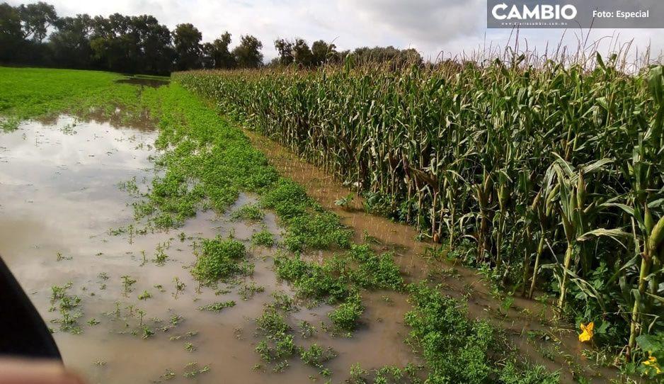 Lluvias fulminan 300 hectáreas de maíz y alfalfa en San José Chiapa